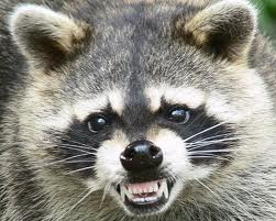 Mean raccoon